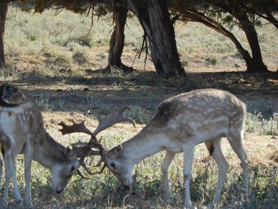 Fossil Rim Wildlife Center: locking horns