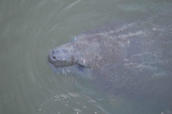 J.B.'s Fish Camp & Restaurant: one of the manatees we saw off the dock at J.B.'s