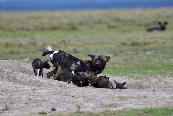 Kicheche Laikipia Camp: Wild Dogs Laikipia