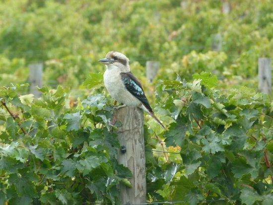 Knee Deep Winery Restaurant: Kookaburra