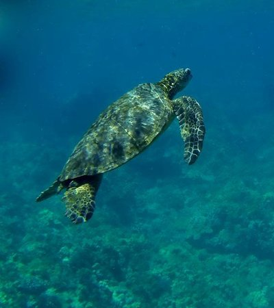 Adventure X Boat Tours: Hawaiian Green Sea Turtyle taken with a GoPro Black at Puako on 8/23/14