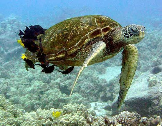 Adventure X Boat Tours: Turtle Cleaning Station at Puako Hawaii on 8/23/14, taken with a GoPro Black