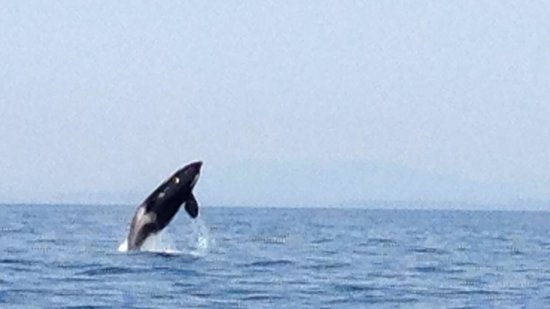 BC Whale Tours: Orca breaching while out with Captain Jim