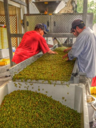 The Farmhouse at Veritas: Workers Processing Grapes During the Harvest