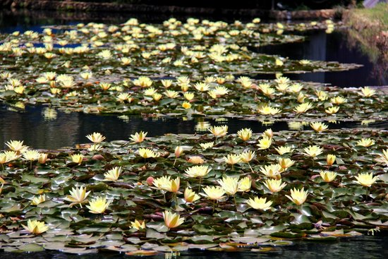 Central Park : Lilies in the small lake