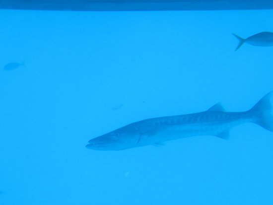 Down Under Tours - Day Tours : Barracuda at the Great Barrier Reef