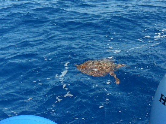 WaterBuggy Fun : So lucky to see a turtle swimming by our boat :)