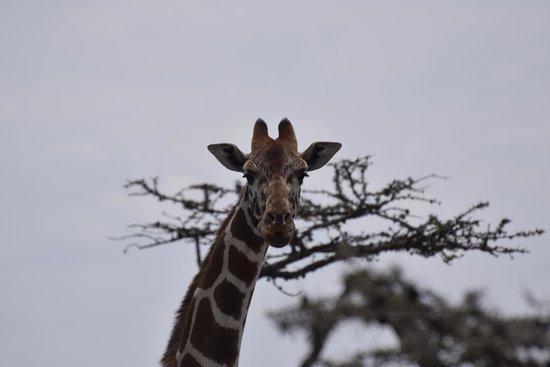 Porini Rhino Camp : Reticulated Giraffe