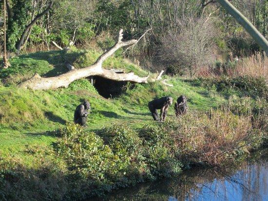Dublin Zoo : chimpances