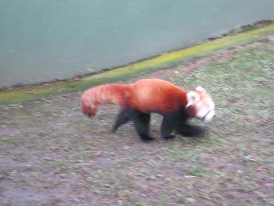 Dublin Zoo : panda rojo