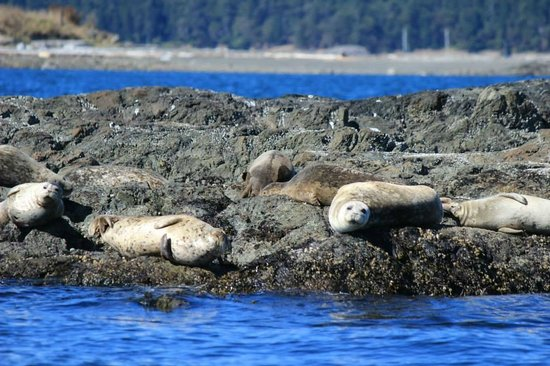Northwest Classic Daysailing : Some of the wildlife we saw-seals!