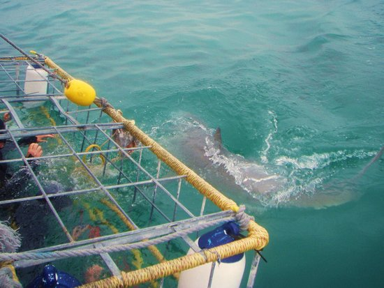 White Shark Projects : Close encounters with great whites are awesome!