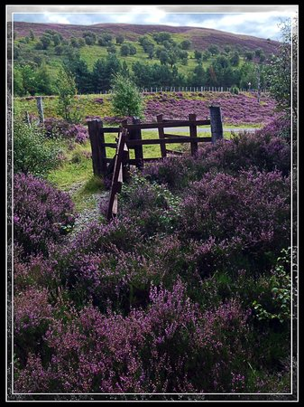 Crubenbeg House: The blooming Heather greeting me down the lane each day