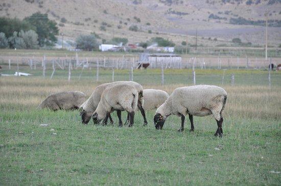 بريس كنتري كابنز: Sheep