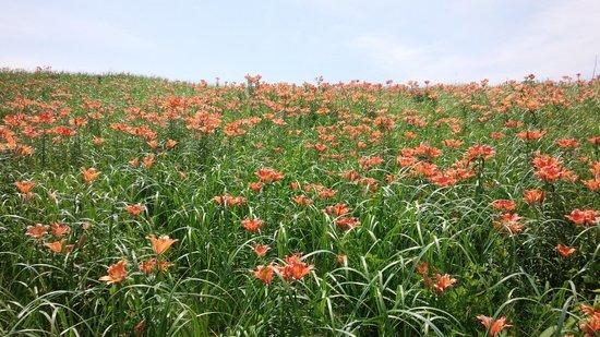 Koshimizu Primeval Garden: エゾスカシユリ