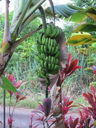 Hana Accommodations: Banana Tree