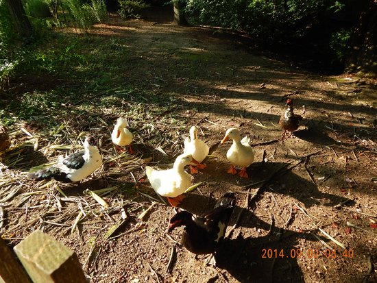 Earl of Sandwich Motel: Backyard Ducks and Geese