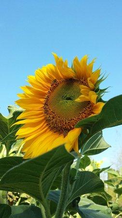 The Restaurant at The Chedi Club Tanah Gajah: A Sunflower at the Organic Garden