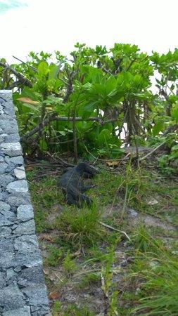 Nikoi Island: Monitor Lizard spotted