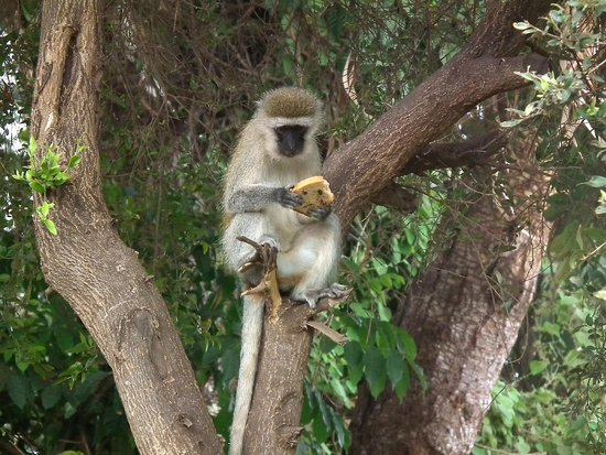 أمبوسيلي سيرينا سافاري لودج: Monos ladrones
