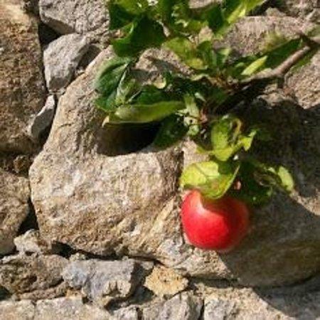 Rigney's Farmhouse Bed & Breakfast: Apple Trees!