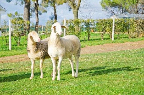 Queseria Las Terceras: Nuestras ovejas pastan tranquilamente