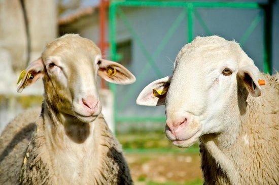 Queseria Las Terceras: Nuestras ovejas