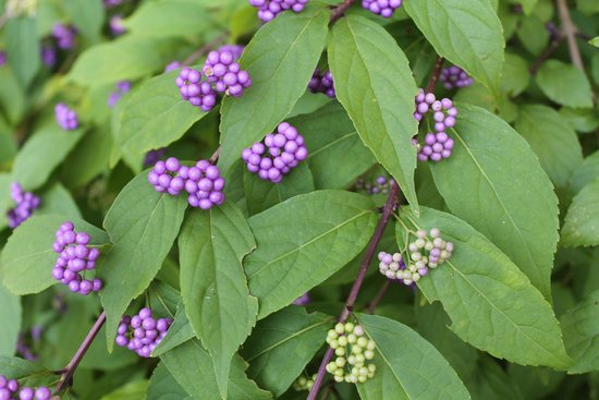 Meadowlark Botanical Garden: Beautyberry - 8-2014