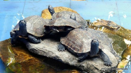 Porcupine Castle Resort: Tortoise in small pool in Restaurant