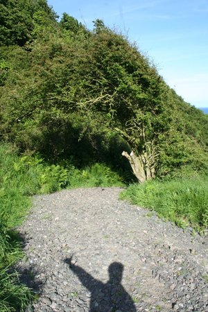 The Gobbins: The faerie tree from uphill.