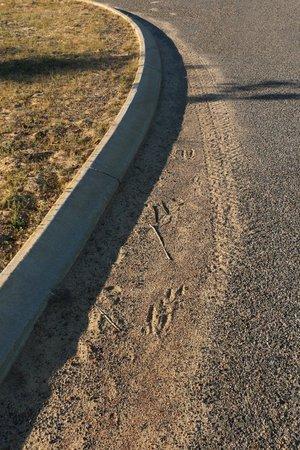 The Two Tin Cow B&B: kangaroo tracks around the property grounds