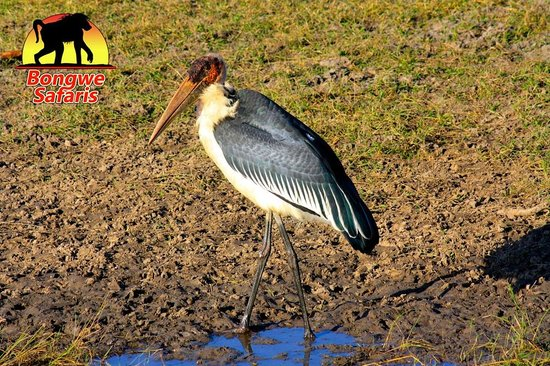 بونجوي كافيو كامب: Marabu Stalk