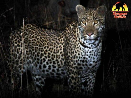 بونجوي كافيو كامب: Stunning Leopard