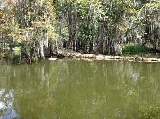 Cajun Country Swamp Tours : alligator on the log