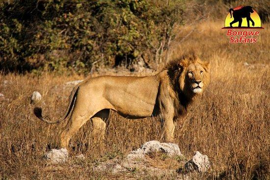 بونجوي كافيو كامب: King of the Jungle