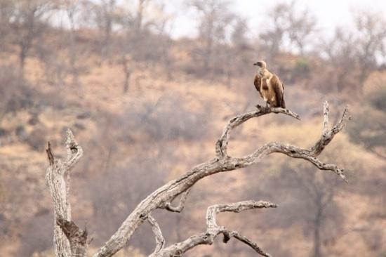 Olifants Rest Camp: Vulture