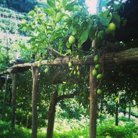Consorzio di Tutela Limone Costa d'Amalfi: The lemons are still green