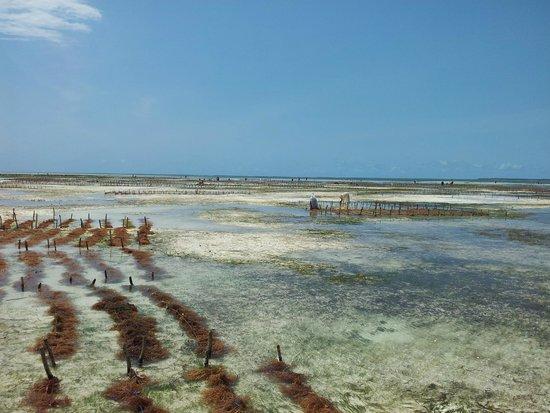 بالومبو ريف ريزورت: piantagione alghe