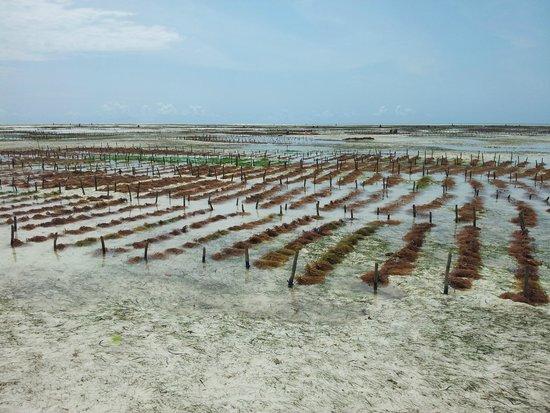 بالومبو ريف ريزورت: piantagioni alghe davanti palumbo