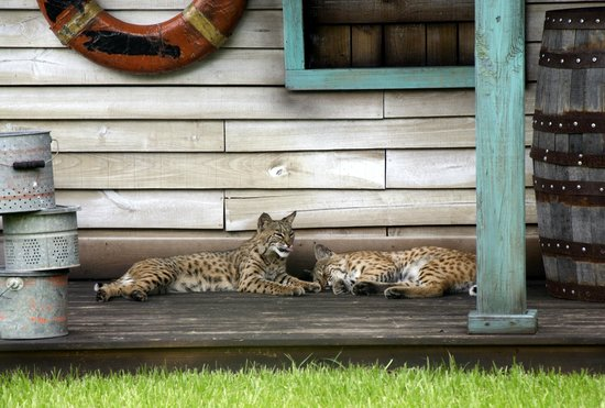 ‪‪Gatorland‬: Bobcats on the porch‬