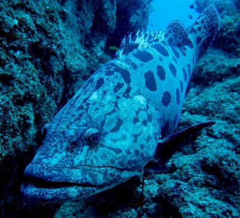 Tofo Scuba: Patatoe grouper