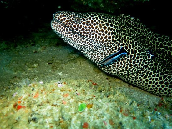 ‪‪Tofo Scuba‬: honeycomb moray eel‬