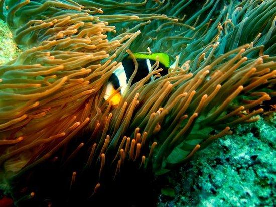 Tofo Scuba: anemone fish