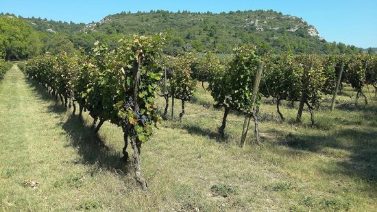 Château d'Estoublon : Vineyards and the Alpilles