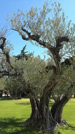 Chateau d'Estoublon: In the olive-grove