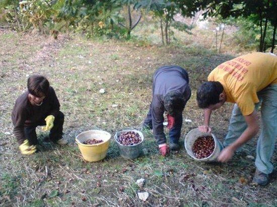 Azienda Agrituristica Masseria Montenero: la raccolta delle castagne in montagna