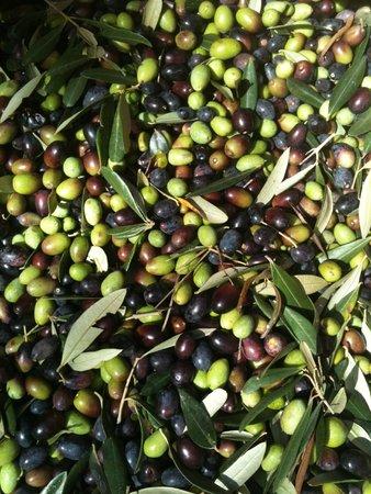 Agriturismo Brasino: raccolta delle olive bio