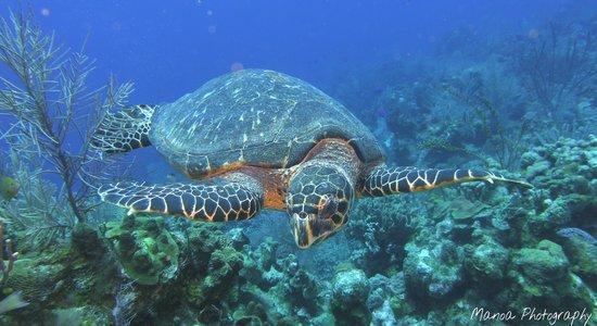 Roatan Boat Adventures: Sea Turtle while snorkeling around West Bay