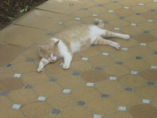 Hotel Cordial Mogan Playa: Resident cat