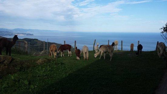 Agroturismo Maddiola: Alpacas de Maddiola